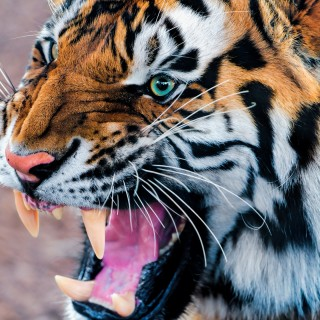 Tiger wallpapers widescreen