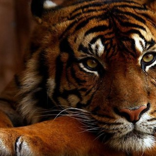 Tiger wallpapers desktop