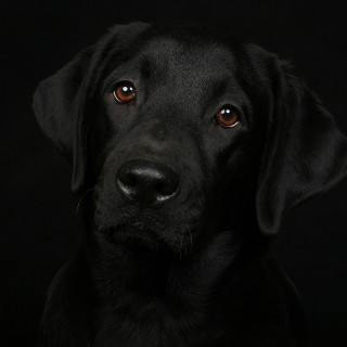 Labrador Retriever 2016