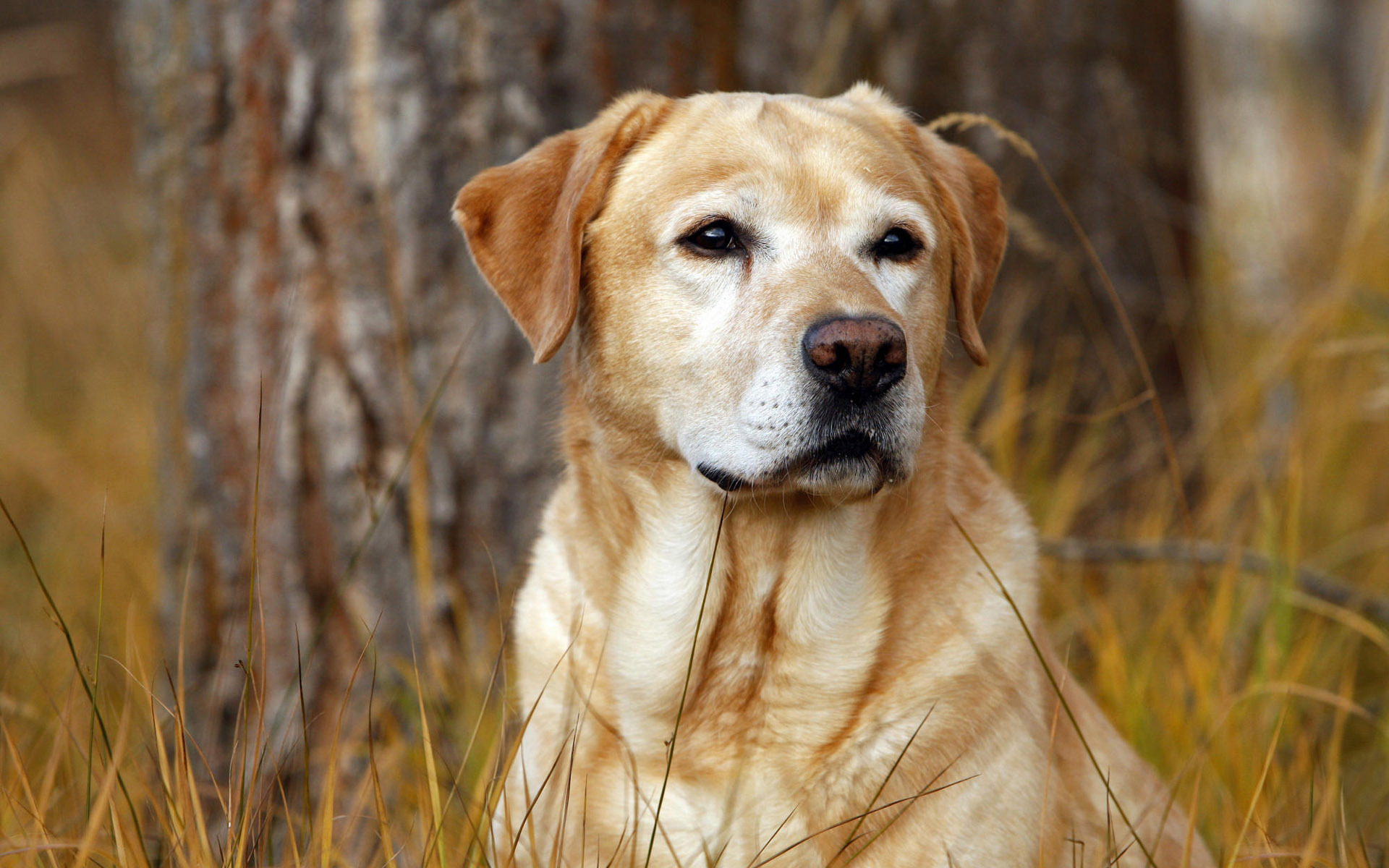 Labrador Retriever Hd Wallpapers For Desktop Download