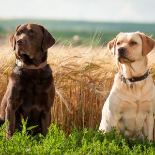 Labrador Retriever high quality wallpapers