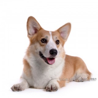 Pembroke Welsh Corgi new
