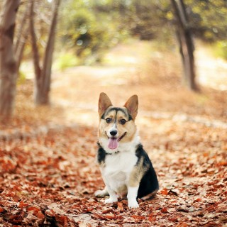 Pembroke Welsh Corgi widescreen