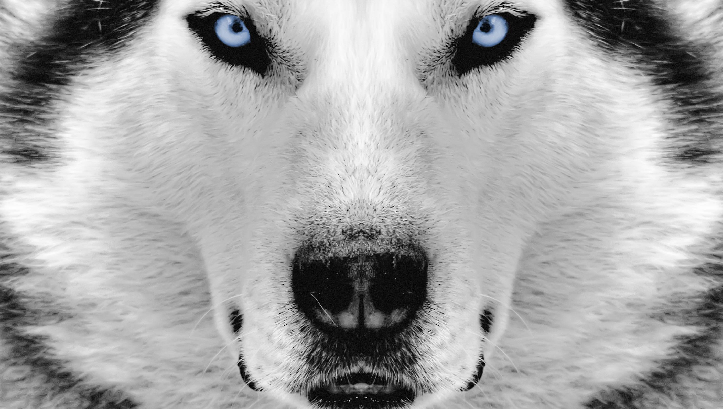 Husky HD Wallpapers