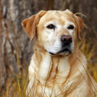 Labrador Retriever wallpapers desktop