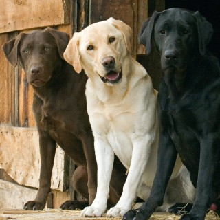 Labrador Retriever new