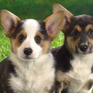 Pembroke Welsh Corgi hd