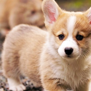 Pembroke Welsh Corgi pictures